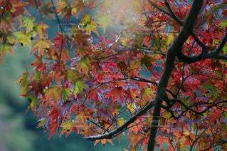 木の枝に紫色の花のグループの写真・画像素材[758451]