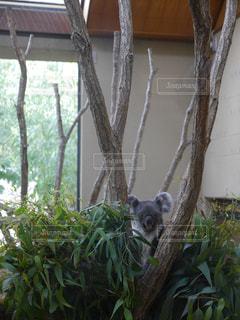 木の猿の写真・画像素材[758456]