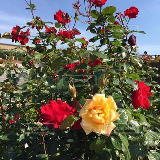 薔薇園の写真・画像素材[761793]
