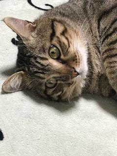 家猫体重7キロの写真・画像素材[1288916]