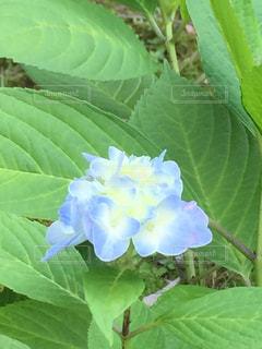 紫陽花 - No.763728