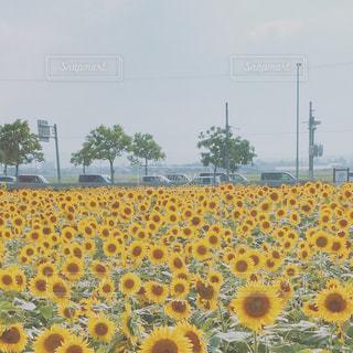 黄色の花の写真・画像素材[759589]
