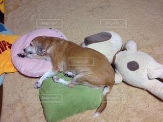 床の上に横たわる犬の写真・画像素材[1171640]