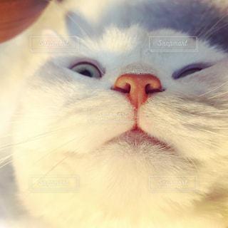 猫のドヤ顔の写真・画像素材[2066036]