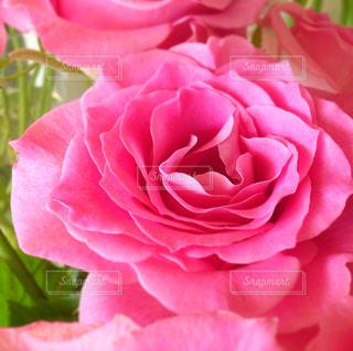 ピンクの薔薇の写真・画像素材[759908]