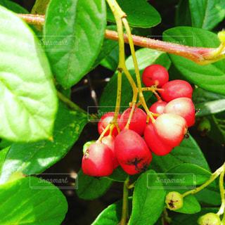 富良野で撮った赤い実の写真・画像素材[759909]