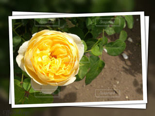 庭に咲いた黄色のバラの写真・画像素材[759923]