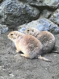 岩に立っている齧歯動物の写真・画像素材[782713]