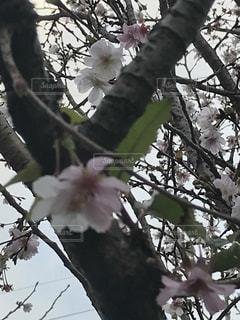 秋に咲く桜の写真・画像素材[869770]