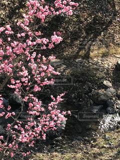 桜の写真・画像素材[1038051]
