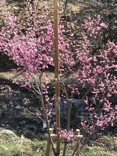 梅の写真・画像素材[1061446]