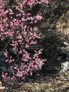 梅と小川の写真・画像素材[1061447]