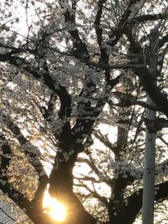 桜と夕日の写真・画像素材[1083245]