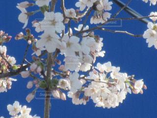 桜の写真・画像素材[1083247]