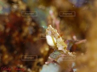 タツノオトシゴの写真・画像素材[22277]