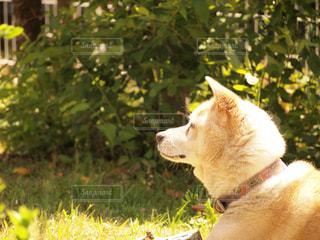 草の中に座っている犬の写真・画像素材[760571]