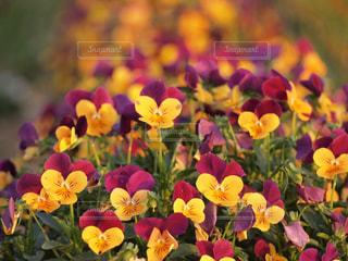 夕日に光る花々の写真・画像素材[760668]