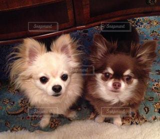 茶色と白の小型犬の写真・画像素材[760634]