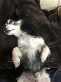 寝てるワンちゃんの写真・画像素材[820458]