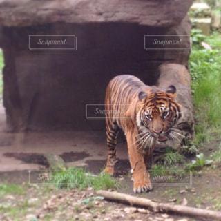 こちらへ向かってくる虎の写真・画像素材[761680]