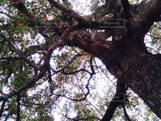 大きな木の写真・画像素材[766218]