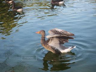 湖から飛び立つカモの写真・画像素材[1767413]