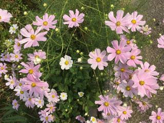 ピンクの秋桜の写真・画像素材[767211]