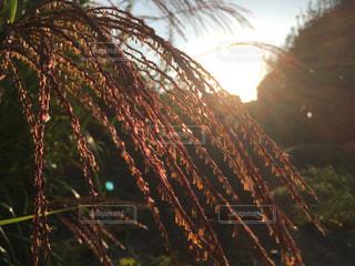 朝日を浴びるススキの写真・画像素材[767220]
