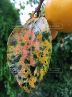 柿の葉の紅葉の写真・画像素材[772713]