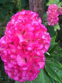 鶏頭の花 - No.772718