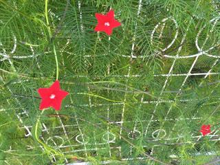 縷紅草の垣根の写真・画像素材[800144]