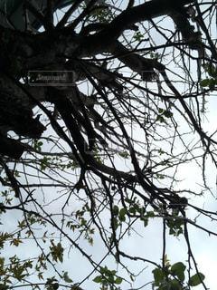 姫林檎の木を見上げての写真・画像素材[811856]