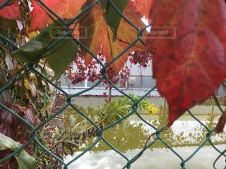 紅葉した山蔦の写真・画像素材[812970]