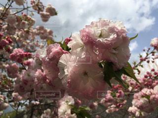 八重桜が咲いたの写真・画像素材[816762]