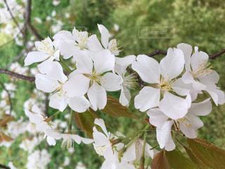時代桜の花の写真・画像素材[816768]