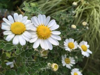 秋の小菊の写真・画像素材[844879]