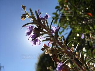 ローズマリーの花の写真・画像素材[844881]