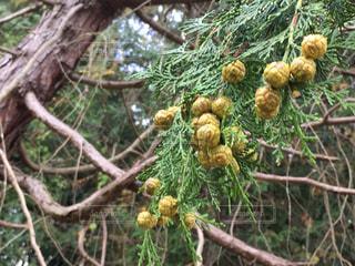 檜の実が沢山の写真・画像素材[852329]