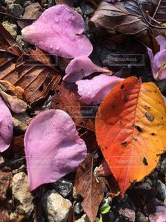 山茶花の花びらと桜の紅葉 - No.857754