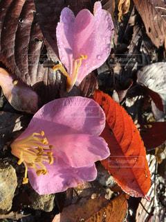 山茶花と桜の葉の紅葉の落ち葉 - No.857755