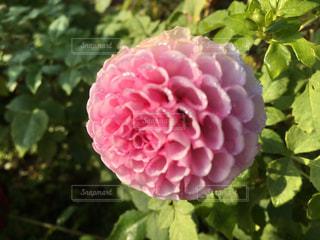 ピンクのダリアが一輪の写真・画像素材[857757]