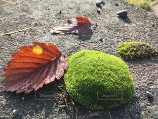 苔に落ち葉の写真・画像素材[857759]