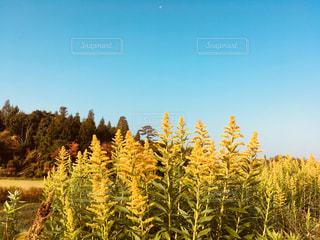 セイタカアワダチソウと紅葉の山とそして青空 - No.857763