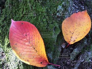 桜の紅葉が二枚 - No.858546