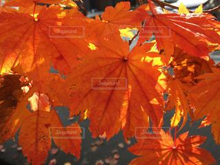 近くの木からぶら下がって傘の写真・画像素材[858554]