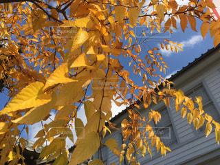 秋晴れの空に黄色の葉 - No.905444