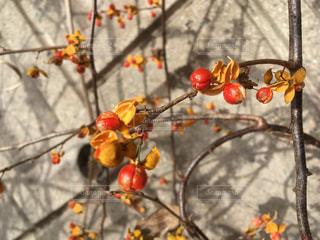 つる梅もどきはオレンジ色 - No.905451