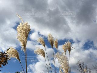 秋空にススキの写真・画像素材[905452]