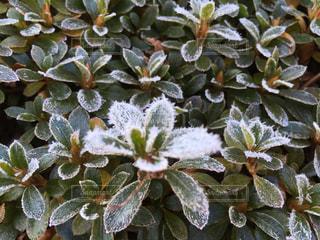 霜花で白くなった皐月の写真・画像素材[930805]