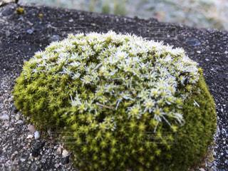 こんもりした苔に霜がおりましたよの写真・画像素材[930807]